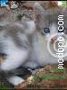 Download gato azul W715 Tema